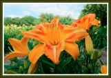 Day Lilly from Epiphany Farm - Hebron, Wisconsin