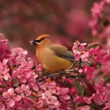 Cedar Waxwing in a Flowering Crab - Fort Atkinson, Wisconsin