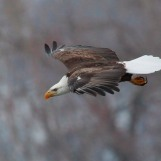 Eagle in Flight - Cassville, Wisconsin
