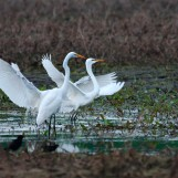 Egrets on Bark River Road - Fort Atkinson, Wisconsin