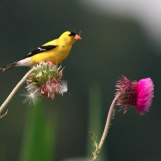 Goldfinch and Thistle - Near Whitewater, Wisconsin