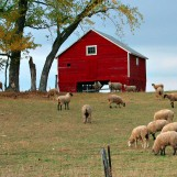 Sheep Grazing - Near Whitewater, Wisconsin