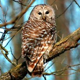 Barred Owl on Bark River Road - Fort Atkinson, Wisconsin