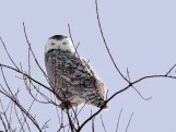 Great Snowy Owl - Scharine Road near Whitewater, Wisconsin
