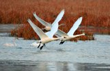 Tundra Swans Take Flight - Alma, Wisconsin