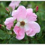 Wild Rose - Janesville, Wisconsin